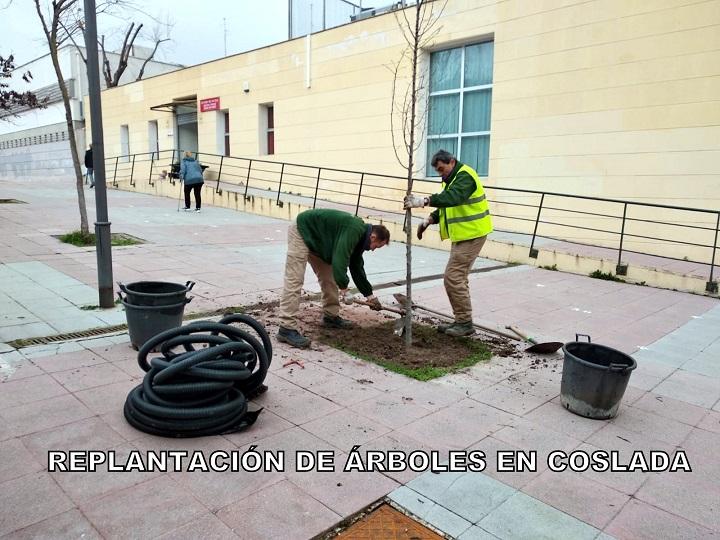 Coslada Planta árboles en los alcorques vacíos del municipio.