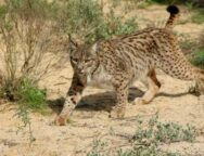 lince-34
